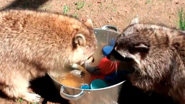 Ces ratons laveurs aimeraient faire votre vaisselle! - Sputnik France