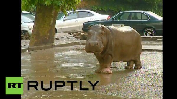Un hippopotame en cavale rattrapé à Tbilissi - Sputnik France