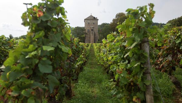 This Monday Sept.10, 2012 photo shows Vineyards in front of the Gevrey-Chambertin castle in Burgundy, eastern France. - Sputnik France