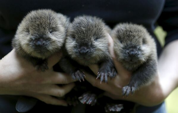 Bébé castors et autres actualités du monde animal - Sputnik France