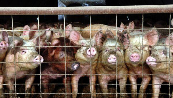 «Les hommes sont les plus cruels des animaux!» Des cochons mutants indignent la toile - Sputnik France