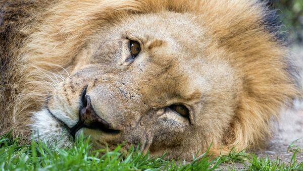 Cecil, lion de Zimbabwe tué par un dentiste américain - Sputnik France
