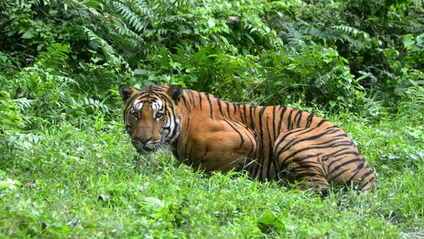 In this photograph taken on December 21, 2014, a Royal Bengal Tiger pauses in a jungle clearing in Kaziranga National Park, some 280kms east of Guwahati. - Sputnik France