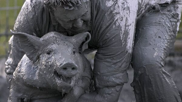 A participant wrestles with a pig in the 'greased pig contest at the Festival du Cochon (Pig Festival) in Sainte-Perpetue, Quebec August 8, 2015. - Sputnik France