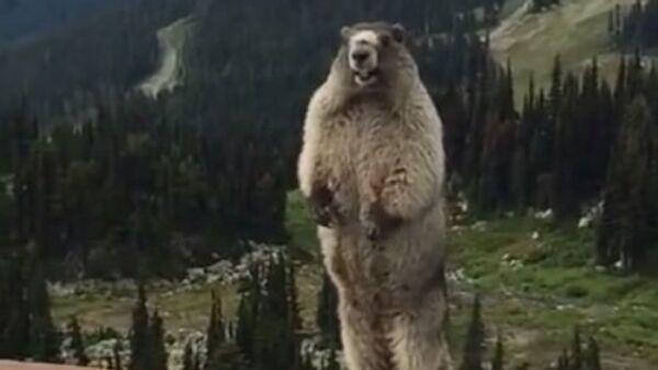 Le chant de la marmotte - Sputnik France