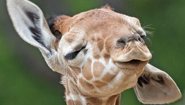 La girafe. Image d'illustration - Sputnik France