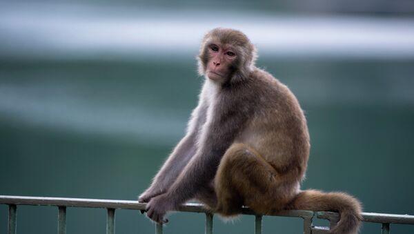 Un macaque - Sputnik France