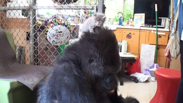 La femelle gorille Koko a adopté deux chatons - Sputnik France