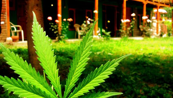 marijuana - Sputnik France