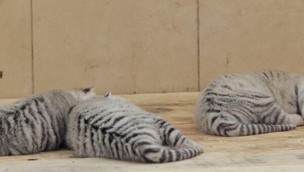 Des jeunes tigres - Sputnik France