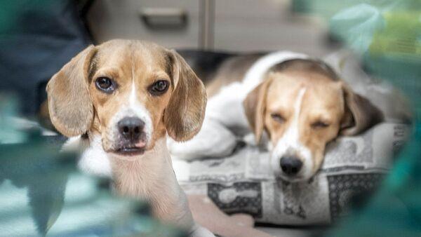 beagles - Sputnik France