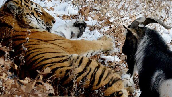 L'amitié surprenante d'un tigre et d'un bouc - Sputnik France