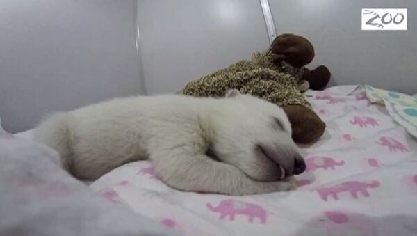 Les dodos d'un ourson blanc - Sputnik France