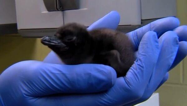Un bébé pingouin baptisé Bowie - Sputnik France