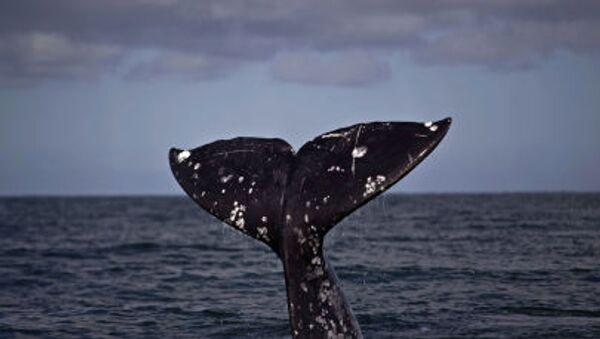 Une baleine - Sputnik France