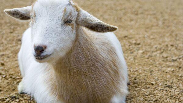 A goat - Sputnik France