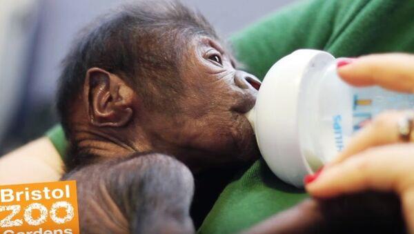 Une bébé gorille née par césarienne au zoo de Bristol - Sputnik France