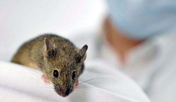 Des souris carnivores géantes se sont emparées de l'île Gough - Sputnik France