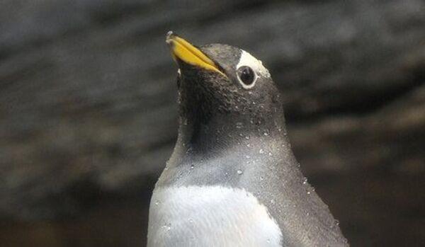 Les « pingouins dissolus » ont choqué le médecin de l'expédition - Sputnik France