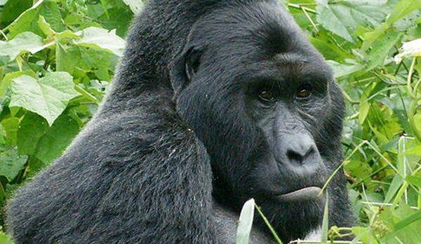 Total parti – les gorilles Virunga peuvent se la couler douce - Sputnik France