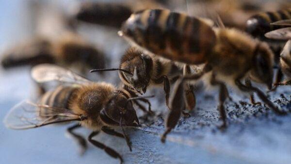 La disparition des abeilles sonnera le glas de l'humanité - Sputnik France