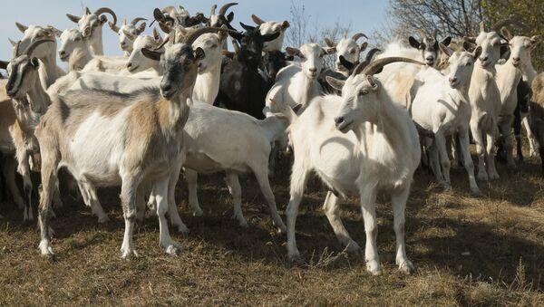 Un troupeau de chèvres - Sputnik France