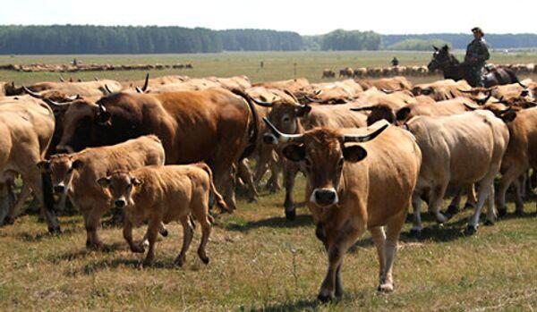 La Russie limite l'importation de bovins de Serbie, de Roumanie et d'Italie - Sputnik France