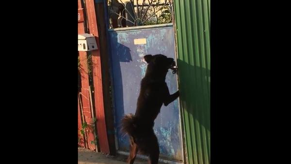 Un chien crocheteur de portes - Sputnik France