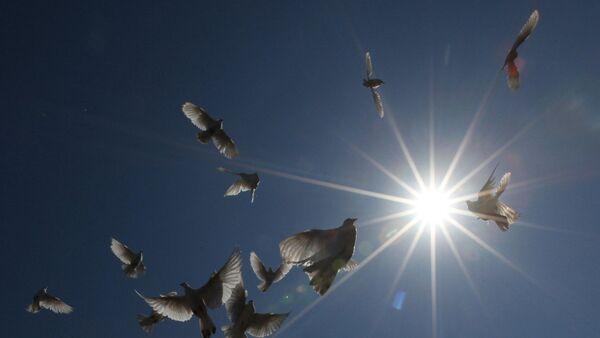Des pigeons - Sputnik France