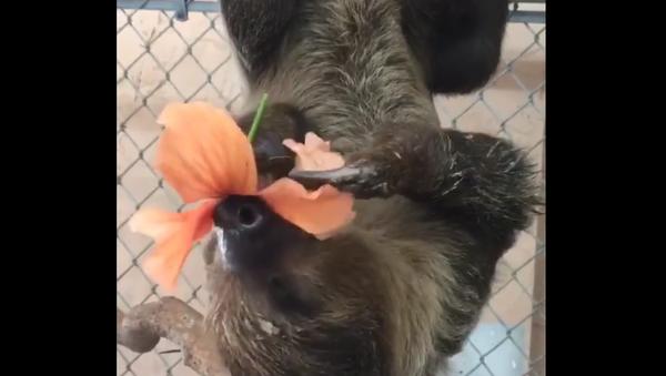 Le paresseux qui mange une fleur - Sputnik France