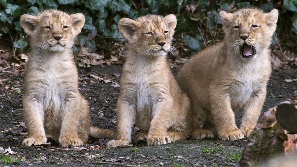 Lionceaux. Image d'illustration - Sputnik France