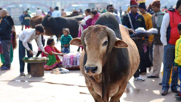 Une vache indienne - Sputnik France