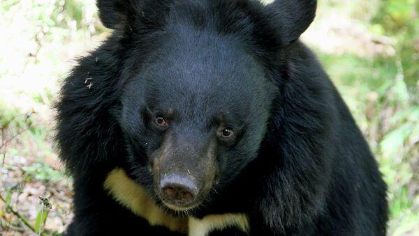 Un ours de l'Himalaya  - Sputnik France