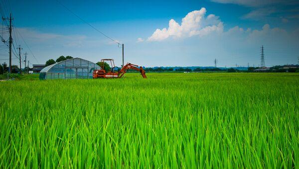 Sakura Rice Fields - Sputnik France
