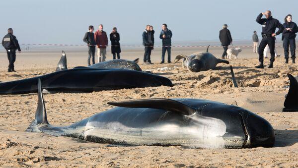 Baleines morts - Sputnik France