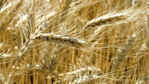 Les céréales - Sputnik France