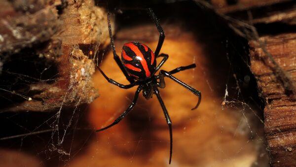 Latrodectus, veuve noire - Sputnik France