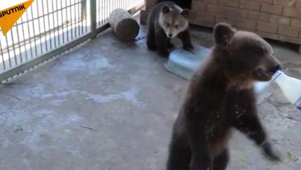 Le bébé ours sauvé - Sputnik France