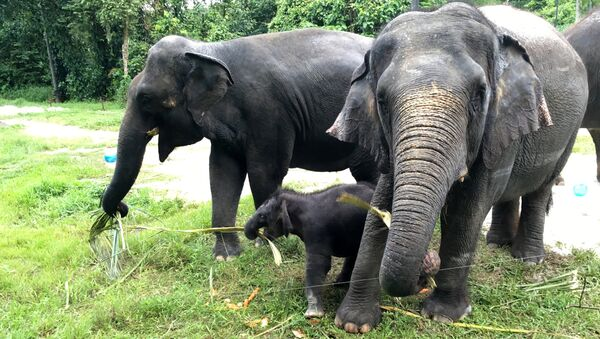The Singapore Night Safari's first baby elephant calf (C) to be born in six years, is seen as she plays at the zoo, June 28, 2016 - Sputnik France