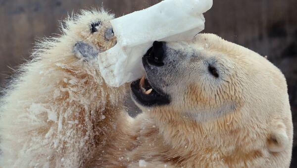 Ours blanc dans un zoo - Sputnik France