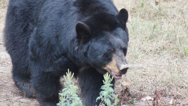 Un ours noir chinois pris la main dans le sac - Sputnik France