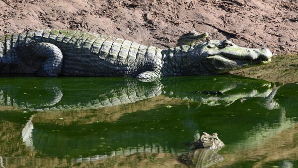 Attaque horrifiante: un crocodile de cinq mètres tue un jeune homme - Sputnik France