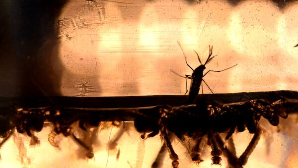 The Aedes Aegypti mosquito larvae are photographed at a laboratory of the Ministry of Health of El Salvador in San Salvador - Sputnik France