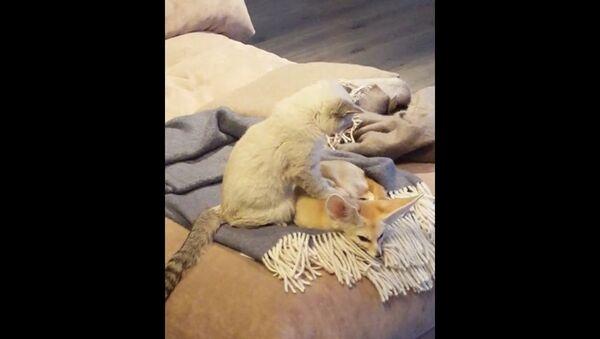 Un chat fait un massage relaxant à un fennec - Sputnik France