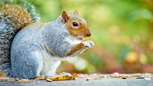 Les écureuils mâles sont beaucoup plus paresseux que les femelles - Sputnik France