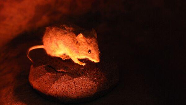 Comment les souris-yogis arrivent-elles à se décontracter? - Sputnik France