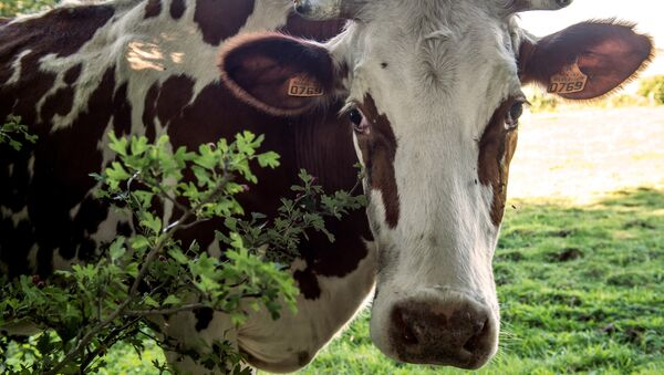 A picture taken on August 23, 2016 shows a cow in a field in Godewaersvelde, northern France. - Sputnik France