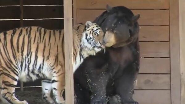 Un trio inséparable formé d'un ours, d'un tigre et d'un lion en deuil - Sputnik France