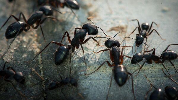 Des fourmis / image d'illustration - Sputnik France