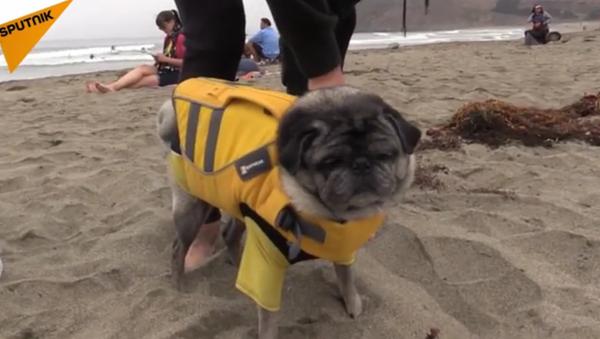 Championnat de surf pour chiens - Sputnik France